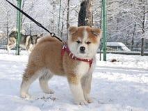 Cucciolo di cane di Akita Inu Immagini Stock