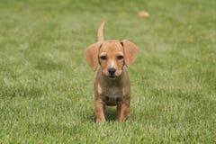 Cucciolo di cane di Brown su erba Immagini Stock