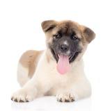 Cucciolo di cane di inu di Akita che lyiing nella parte anteriore e che esamina macchina fotografica Isolato Fotografia Stock Libera da Diritti