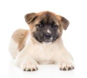 Cucciolo di cane di inu di akita del giapponese che si trova nella parte anteriore e che esamina macchina fotografica Isolato Fotografia Stock Libera da Diritti