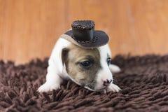 Cucciolo di cane di Jack Russel sul panno Fotografia Stock