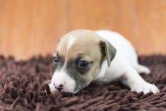Cucciolo di cane di Jack Russel sul panno Immagine Stock Libera da Diritti