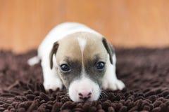 Cucciolo di cane di Jack Russel sul panno Immagini Stock Libere da Diritti
