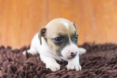 Cucciolo di cane di Jack Russel sul panno Fotografie Stock