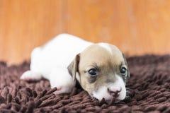 Cucciolo di cane di Jack Russel sul panno Immagini Stock