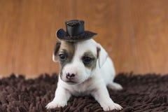 Cucciolo di cane di Jack Russel sul panno e sul cappello Fotografia Stock Libera da Diritti