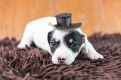 Cucciolo di cane di Jack Russel sul panno e sul cappello Fotografie Stock Libere da Diritti