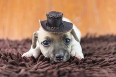 Cucciolo di cane di Jack Russel sul panno e sul cappello Immagini Stock