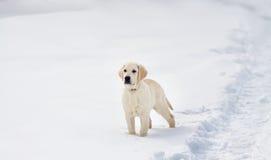 Cucciolo di cane di labrador retriever nell'inverno Fotografia Stock