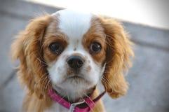 Cucciolo di cane di re Charles Fotografia Stock Libera da Diritti