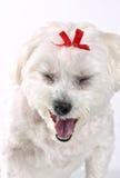 Cucciolo di cane di sbadiglio Immagine Stock