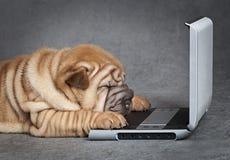 Cucciolo di cane di Sharpei con il lettore DVD Immagine Stock