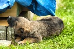 cucciolo di cane di sonno Immagine Stock