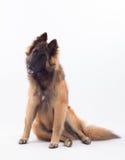Cucciolo di cane di Tervuren, sei mesi, sedentesi Fotografia Stock