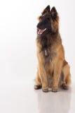 Cucciolo di cane di Tervuren sul pavimento bianco brillante Immagini Stock