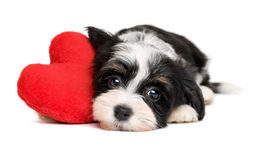 Cucciolo di cane di Valentine Havanese dell'amante con un cuore rosso Immagini Stock Libere da Diritti