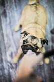 Cucciolo di cane divertente indisciplinato del carlino Fotografia Stock Libera da Diritti