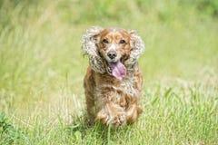 Cucciolo di cane felice che corre a voi Immagini Stock Libere da Diritti