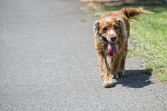 Cucciolo di cane felice che corre a voi Fotografia Stock