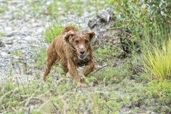 Cucciolo di cane felice che corre a voi Immagini Stock