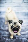 Cucciolo di cane felice del carlino Fotografia Stock