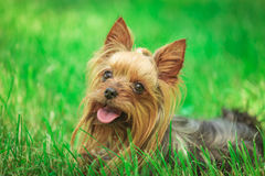 Cucciolo di cane felice dell'Yorkshire terrier che ansima nell'erba Fotografia Stock
