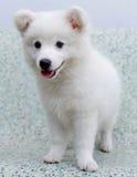 Cucciolo di cane giapponese bianco dello Spitz Immagini Stock