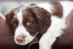 Cucciolo di cane in letto comodo Immagini Stock Libere da Diritti