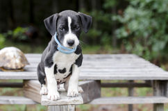 Cucciolo di cane misto della razza del segugio del puntatore con il collare della pulce fotografia stock