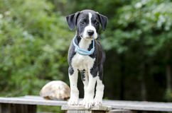 Cucciolo di cane misto della razza del segugio del puntatore con il collare della pulce fotografie stock libere da diritti