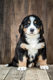 Cucciolo di cane di montagna di Bernese sveglio fotografia stock