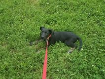 Cucciolo di cane nero con un guinzaglio rosa nell'erba fotografie stock libere da diritti