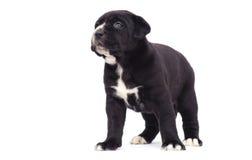 Cucciolo di cane nero di corso della canna Immagine Stock Libera da Diritti