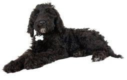 Cucciolo di cane nero di Labradoodle Fotografia Stock