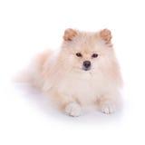 Cucciolo di cane pomeranian bianco Fotografie Stock Libere da Diritti
