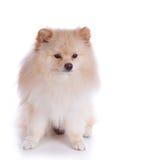 Cucciolo di cane pomeranian bianco Fotografia Stock Libera da Diritti