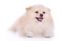 Cucciolo di cane pomeranian bianco Immagine Stock Libera da Diritti