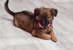 Cucciolo di cane sveglio, collare rosa, Fotografia Stock Libera da Diritti