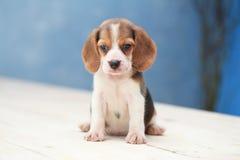 cucciolo di cane sveglio del cane da lepre Immagini Stock