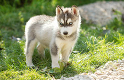 Cucciolo di cane sveglio del husky Immagini Stock Libere da Diritti