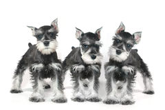 Cucciolo di cane sveglio dello schnauzer miniatura del bambino su bianco Immagine Stock