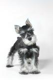 Cucciolo di cane sveglio dello schnauzer miniatura del bambino su bianco Fotografia Stock