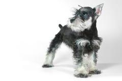 Cucciolo di cane sveglio dello schnauzer miniatura del bambino su bianco Immagini Stock Libere da Diritti