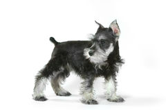 Cucciolo di cane sveglio dello schnauzer miniatura del bambino su bianco Immagine Stock Libera da Diritti