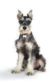 Cucciolo di cane sveglio dello schnauzer miniatura su fondo bianco fotografie stock libere da diritti