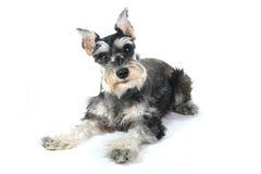 Cucciolo di cane sveglio dello schnauzer miniatura su fondo bianco Immagini Stock