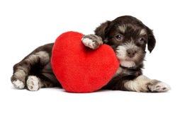 Cucciolo di cane sveglio di Havanese del biglietto di S. Valentino con un cuore rosso Fotografia Stock