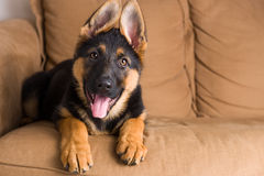 Cucciolo di cane sveglio in un sofà Immagine Stock Libera da Diritti