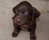 Cucciolo di cane tedesco di marrone del puntatore dai capelli corti fotografie stock