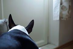 Cucciolo di cane triste di bullterrier su uno strato Immagini Stock Libere da Diritti